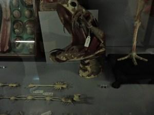 Museo Veterinario Complutense - Sistema nervioso y cabeza de un ofidio en papel maché.