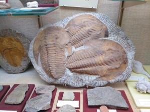 Museo Religioso-Paleontológico - Trilobites Andalusiana Cornuta del periodo Cámbrico.