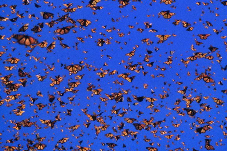 Migração das borboletas monarca no México