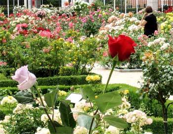 Rosaledas para jardín