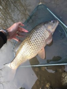 pescare le carpe