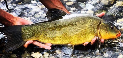 pescare le tinche