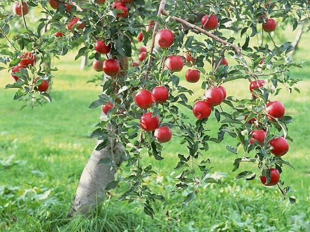 Piante Di Melo : Coltivare un melo partendo dal seme passo dopo
