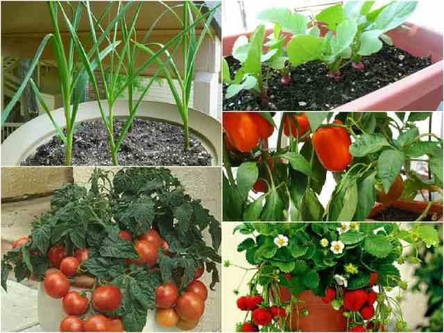 Ortaggi e frutti da coltivare in vaso guida giardino for Coltivare more in vaso