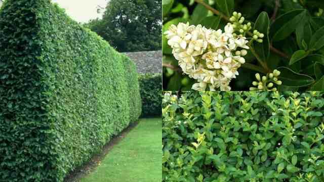 Come coltivare il ligustro comune guida giardino for Ligustro siepe