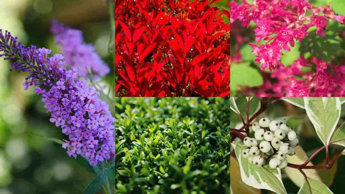 9 arbusti a crescita rapida guida giardino for Cespugli fioriti da giardino