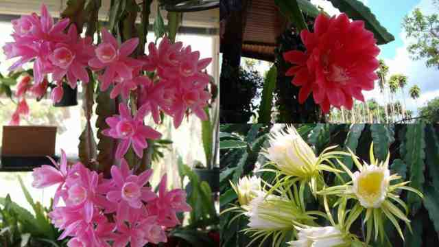 Come coltivare il cactus orchidea   Guida Giardino