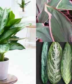 Piante d'appartamento: l'Aglaonema, caratteristiche e coltivazione