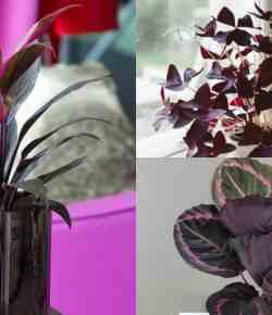 10 piante d'appartamento di colore viola