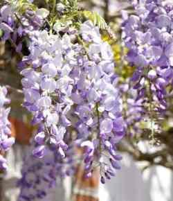 Glicine: consigli per la coltivazione e per migliorare la fioritura