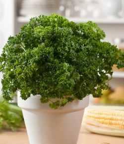 Come coltivare il prezzemolo in vaso