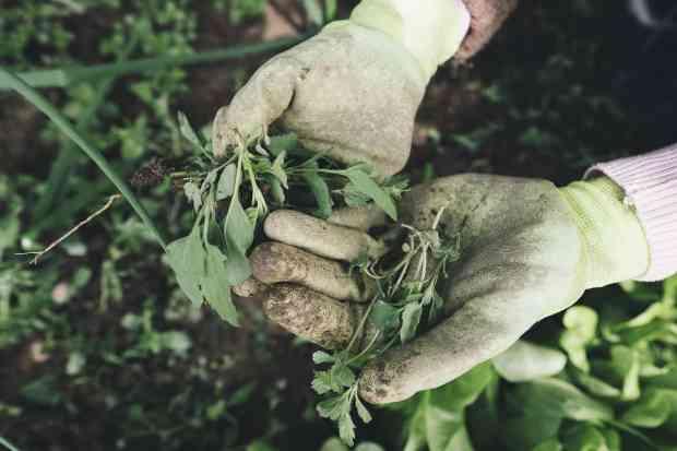 erbacce nell'orto, da eliminare con costanza per preservare le colture