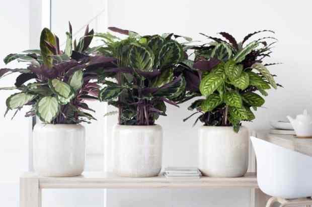 Calathea, una pianta da appartamento con foglie molto grandi e colorate