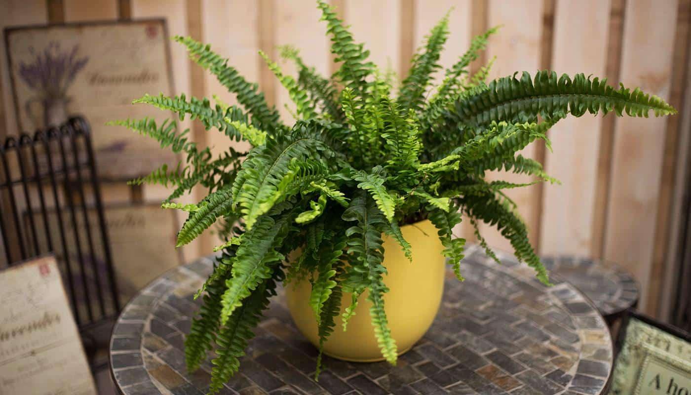 Piante Da Appartamento Ambiente Buio 6 piante perfette se dentro casa c'è poca luce - guida giardino