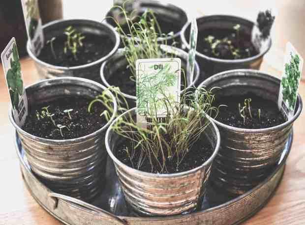 Le piante aromatiche hanno bisogno di molta luce, ma i raggi del sole non devono colpirle in pieno, altrimenti rischiamo di far seccare le nostre piante