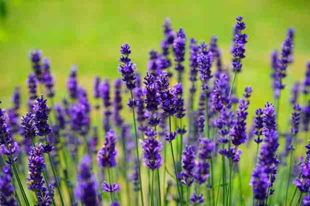 In natura la lavanda è un repellente molto efficace grazie all'odore che sprigiona contro le mosche, le zanzare e anche contro le tarme