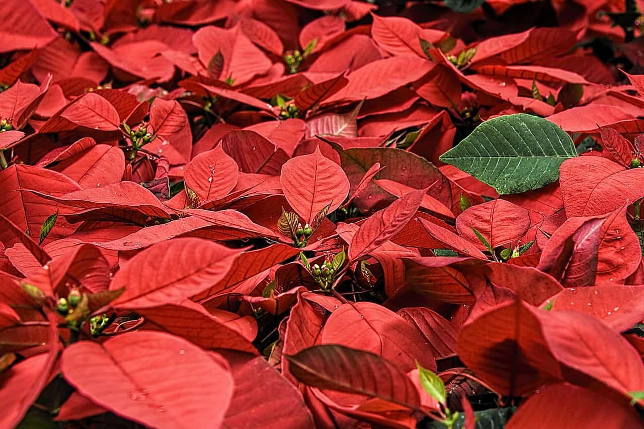 Piante Da Regalare Per Natale Guida Giardino
