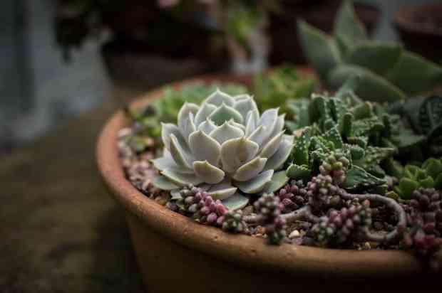 Se avete molte succulente, sappiate cheil posto migliore per loro durante l'inverno è dentro casa