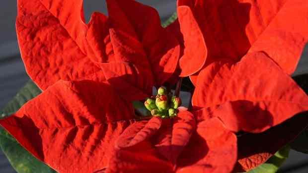Stella di Natale, la pianta tipicamente natalizia di origine messicana