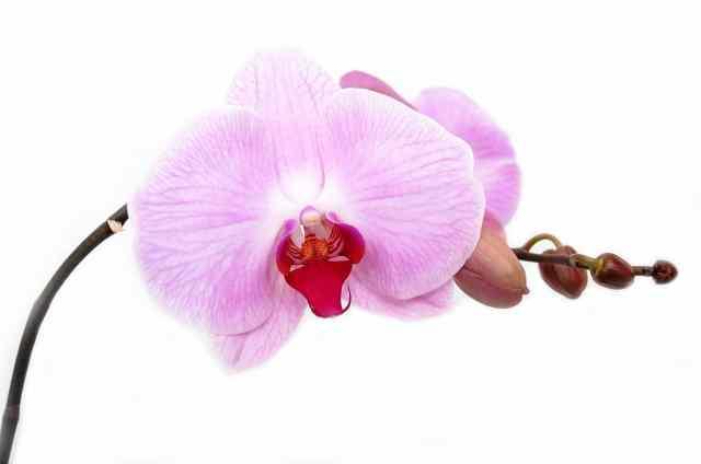 Le orchidee sono fiori dalle foglie grandi, carnose e molto consistenti, di un colore verde molto intenso che molte volte risulta brillante