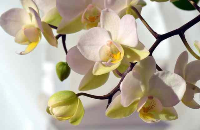 La fioritura dell'orchidea si verifica per lo più nei mesi invernali, in genere nel periodo compreso da dicembre ad aprile, anche se non esiste una regola vera e propria