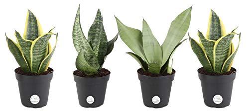 Sanseveria, una pianta celebre per essere resistente e adattabile e dotata di bordi multicolori di  colore grigio, argento e oro, che la rendono unica nel suo genere