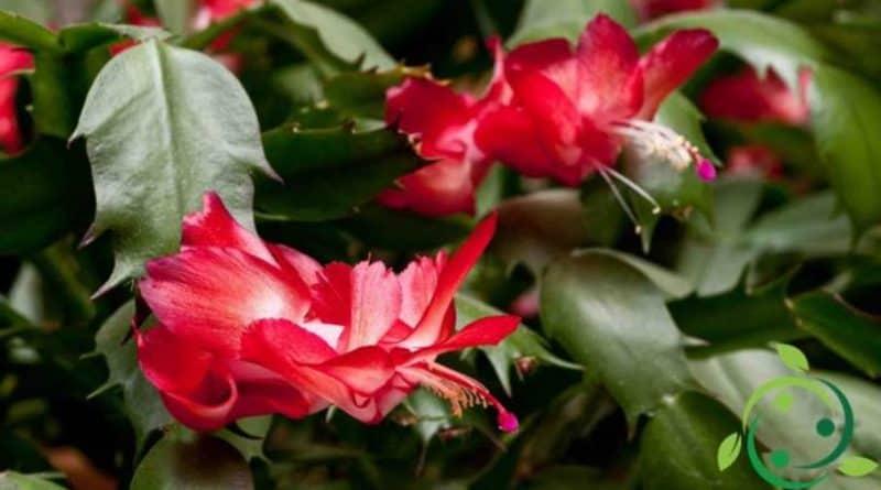 cactus di Natale, mostra solo i suoi fiori rosso acceso proprio durante i mesi invernali.