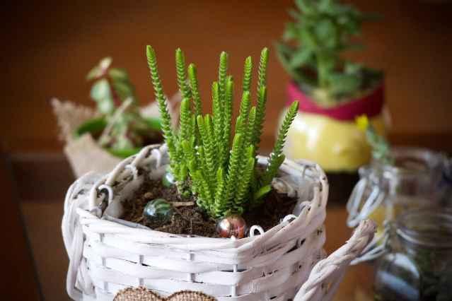 Tutta la famiglia delle piante grasse si presta molto bene per abbellire gli angoli di qualsiasi ambiente della casa