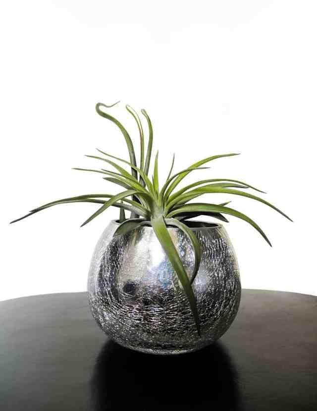 La Tillandsia è una pianta erbacea, perenne e nei nostri climi si adatta molto bene all'interno delle case