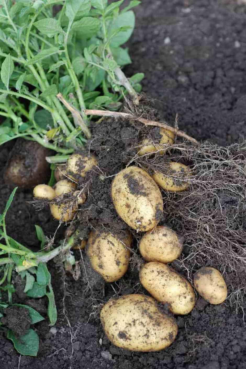 Le patate sono molto versatili possono essere coltivate in sacchetti di juta. Unico accorgimento: avranno bisogno di molta luce una volta che la coltura si sarà stabilita