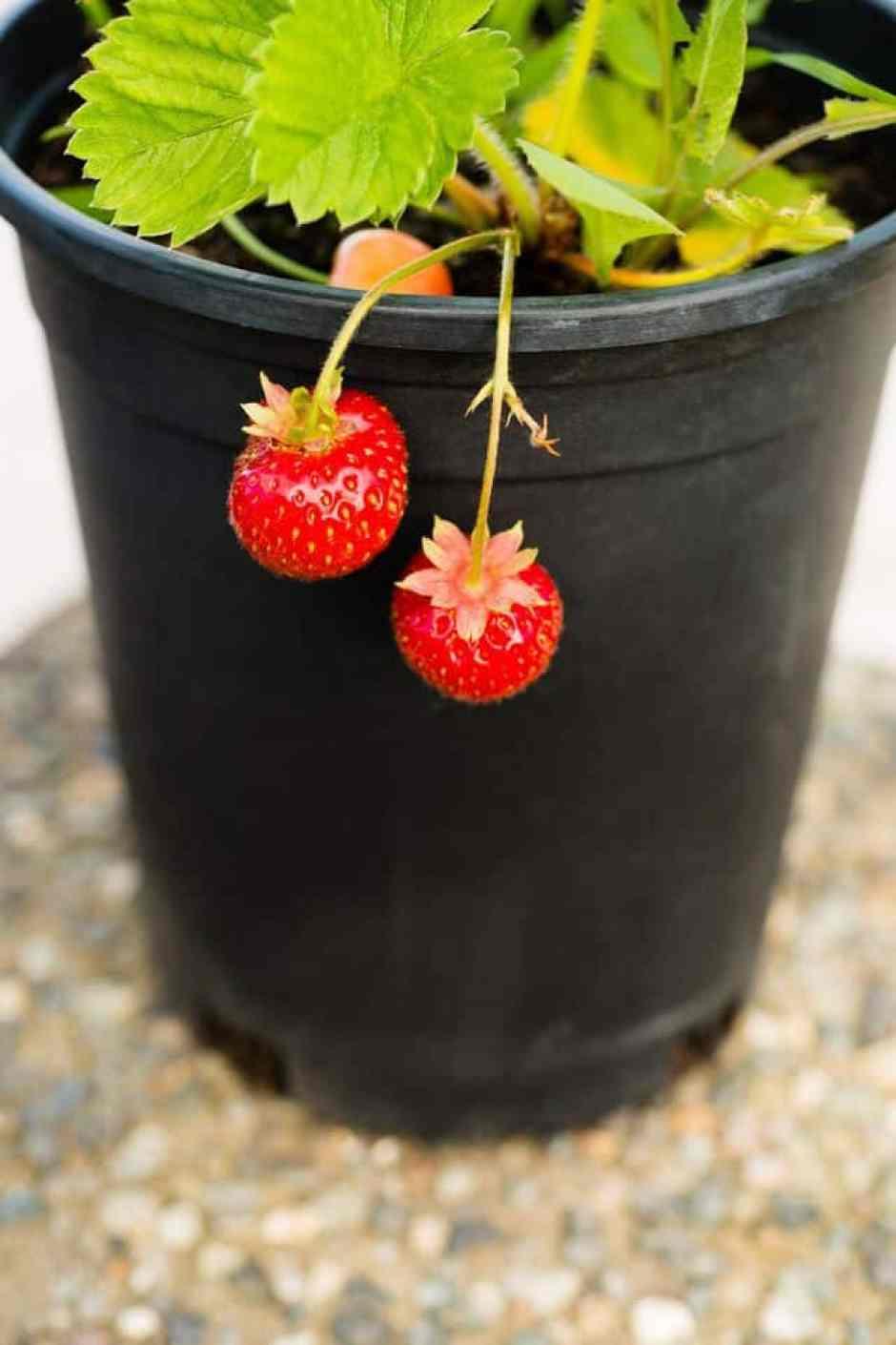 coltivare le fragole in vaso