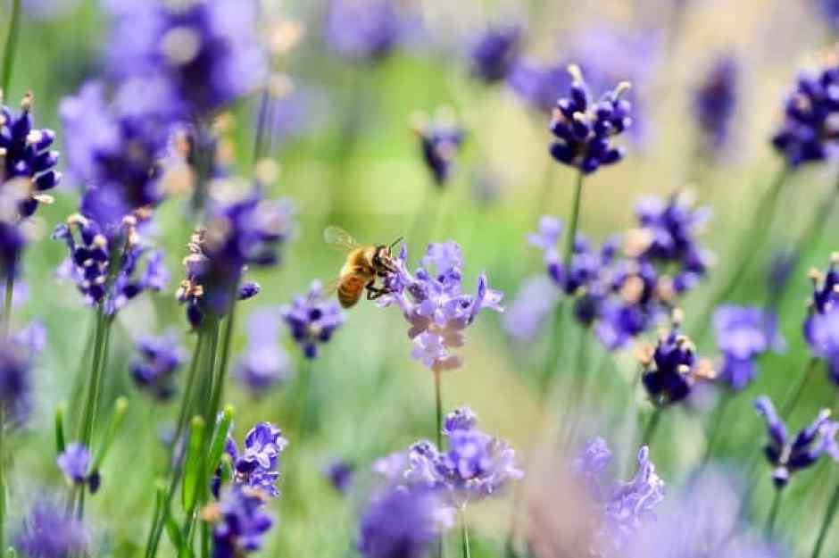 Nei giardini la lavanda officinalis è particolarmente diffusa per le sue caratteristiche estetiche, grazie a dei cespugli che rimangono particolarmente ordinati e si mantengono entro i 50 centimetri di altezza