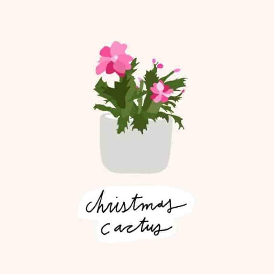 Cactus di Natale, una pianta nota nota per i suoi fiori di un bellissimo rosso intenso