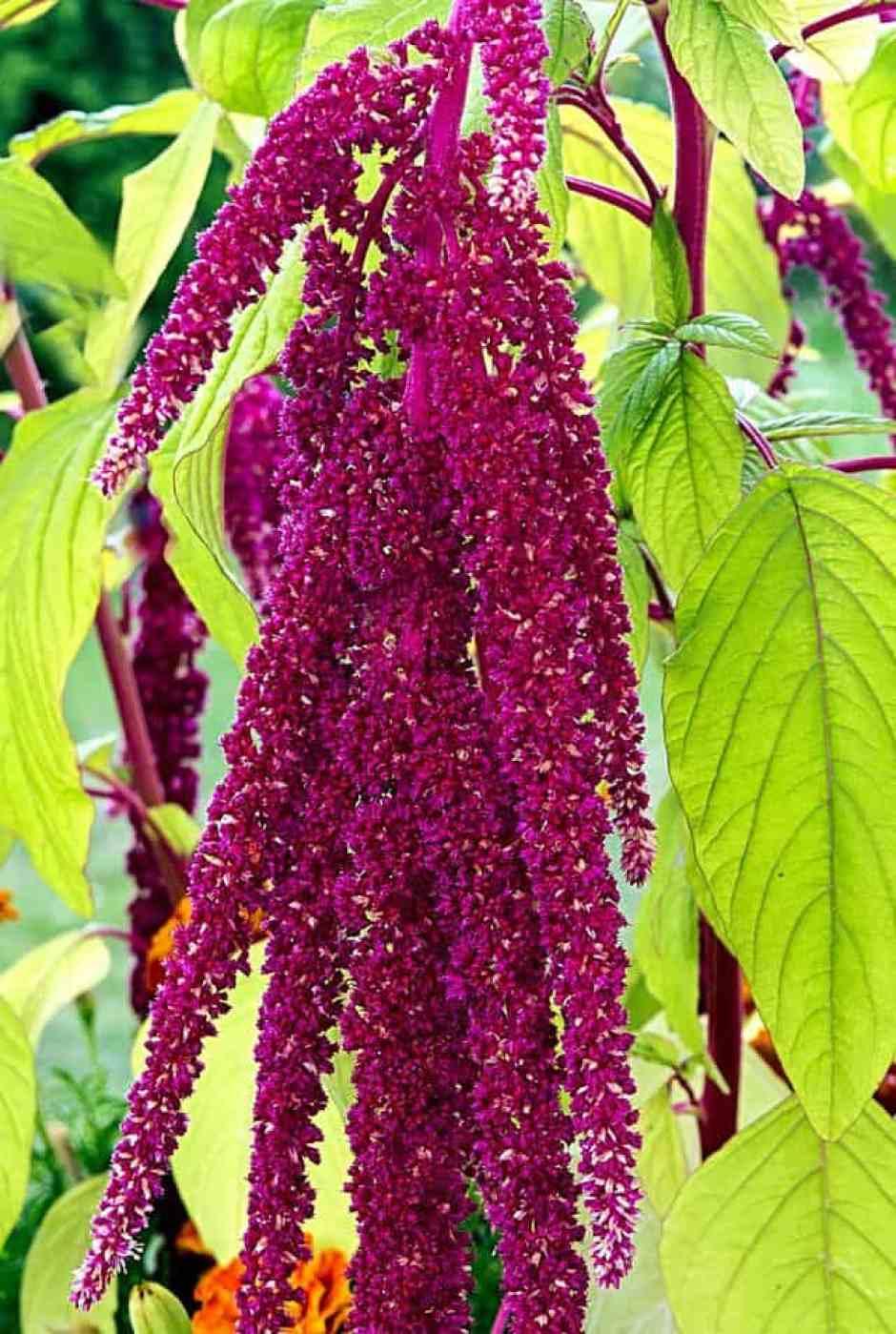 Amaranthus, un fiore colorato e caratteristico