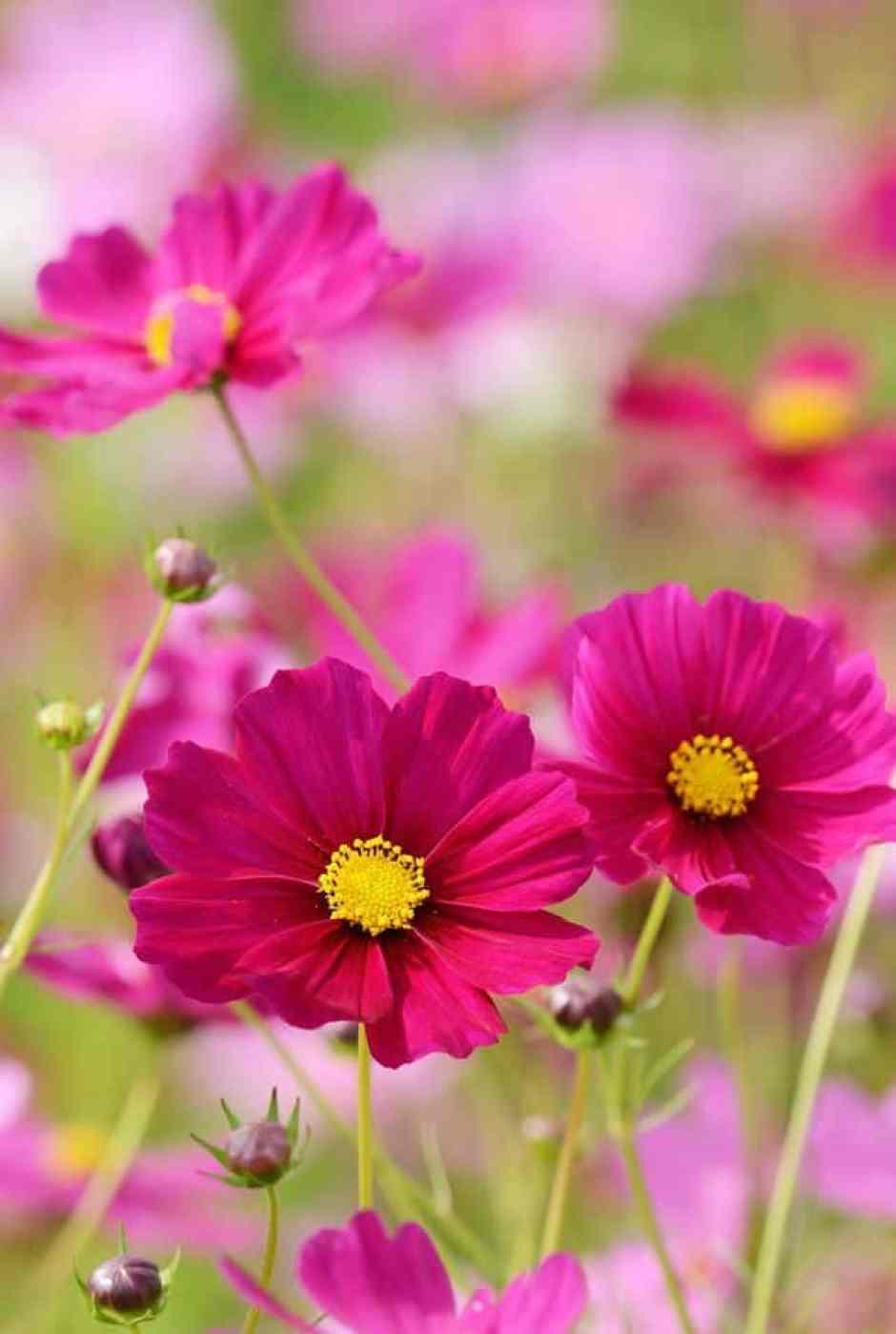 Cosmos, un fiore autunnale coloratissimo