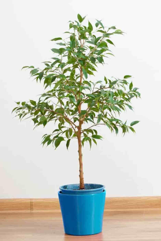 Ficus Benjamin Perde Foglie 10 piante da interno per una casa super chic - guida giardino