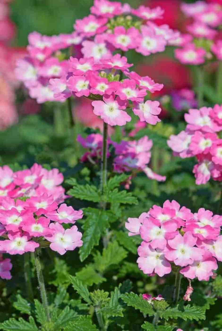 Verbena, il fiore delicato per eccellenza