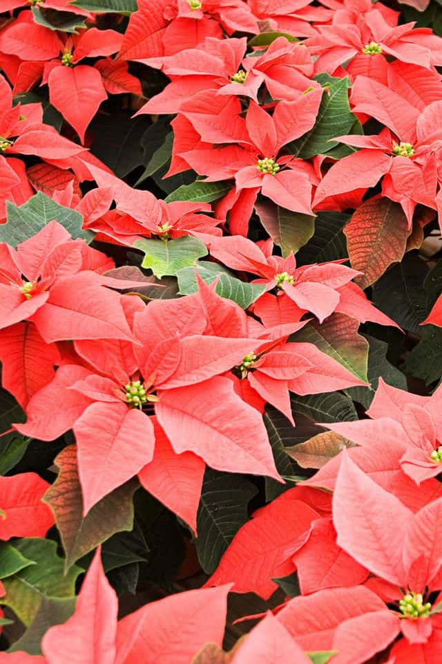 Piante di Natale: quali scegliere da regalare o da sistemare dentro casa