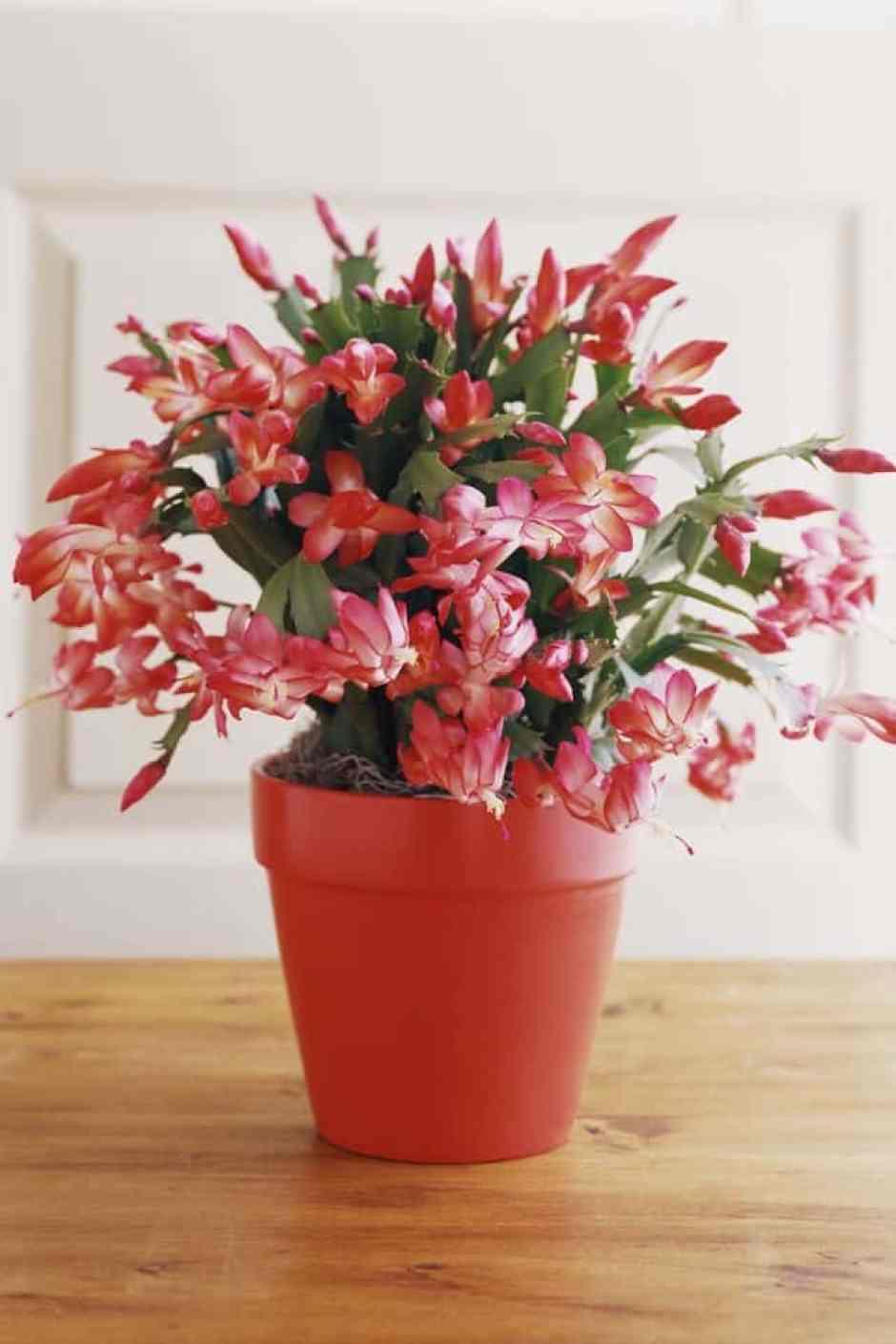 Cactus di Natale, una pianta grassa perfetta per il periodo natalizio