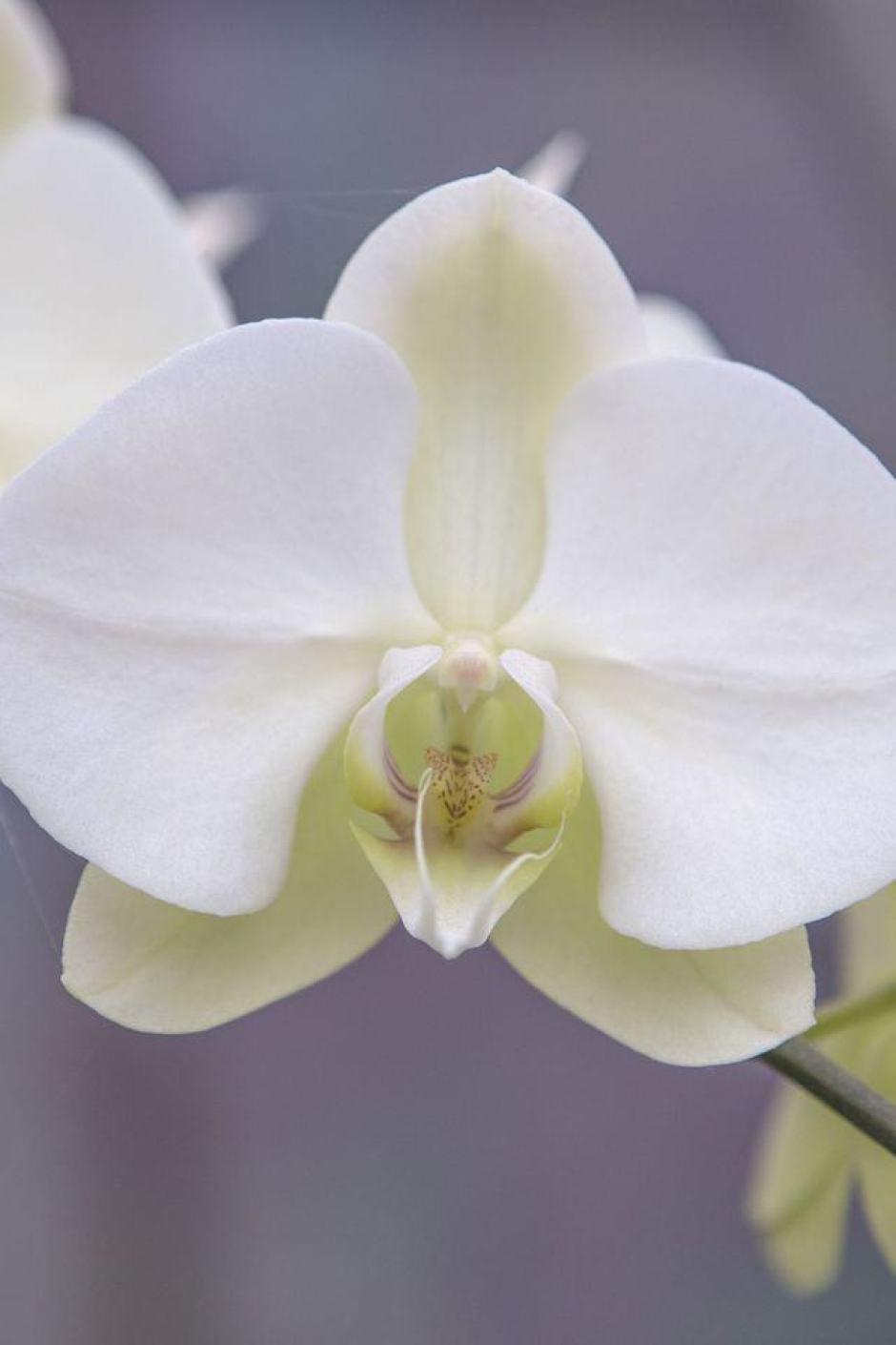 Orchidea Phalaenopsis, un grande classico per gli amanti dei fiori