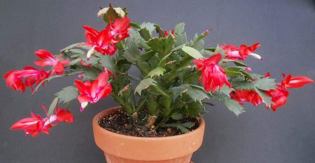 Cactus di Natale, una bellissima pianta natalizia