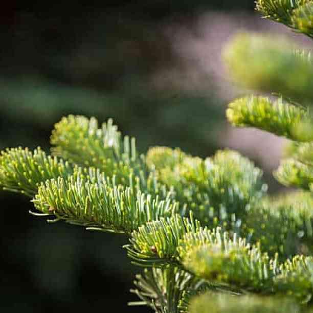 Abete nobile, ha un colore decisamente particolare, nei toni del verde e del blu, e non richiede una grande manutenzione