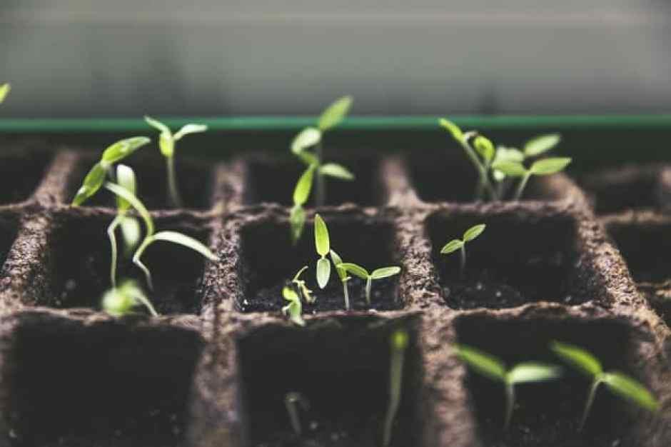 Piantine in crescita, seminate in piccoli quadrati di cartoni