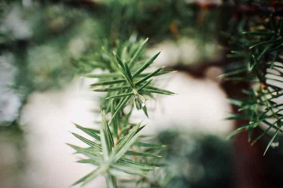 Dettagli di aghi di pino