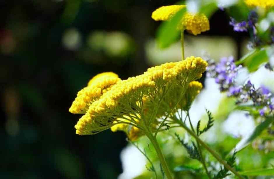 Achillea, dalle proprietà antinfiammatorie, antispasmodiche e anche cicatrizzanti