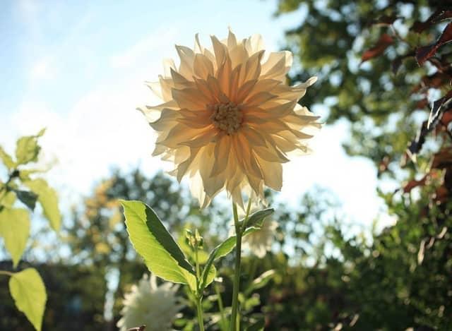 Pianta perenne utilizzata come pianta annuale.