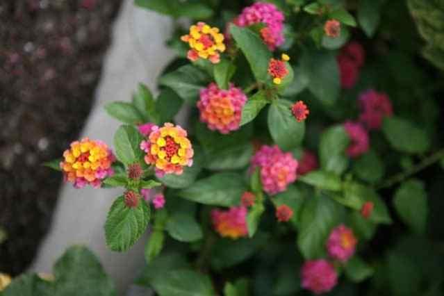 Piante annuali coltivate in vaso.