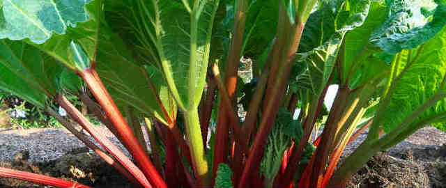 Rabarbaro coltivato in piena terra, ideale per preparare dolci e composte.