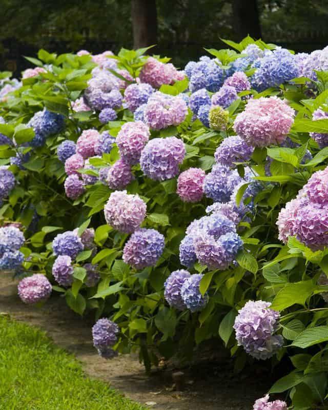 hydrangea-royalty-free-image-1573774129 - Guida Giardino