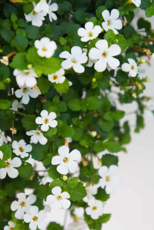 Bacopa, una pianta annuale dai fiori piccoli e bianchi.